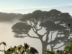 A Scots Pine seen through a rising mist